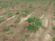 plantatie